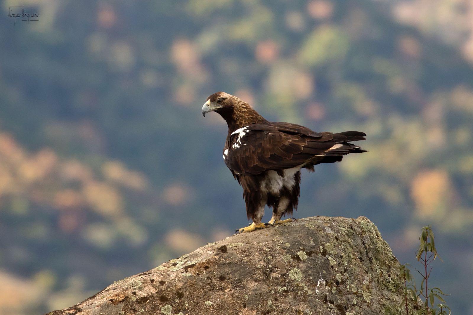 Aguila Imperial,Spanish Imperial Eagle